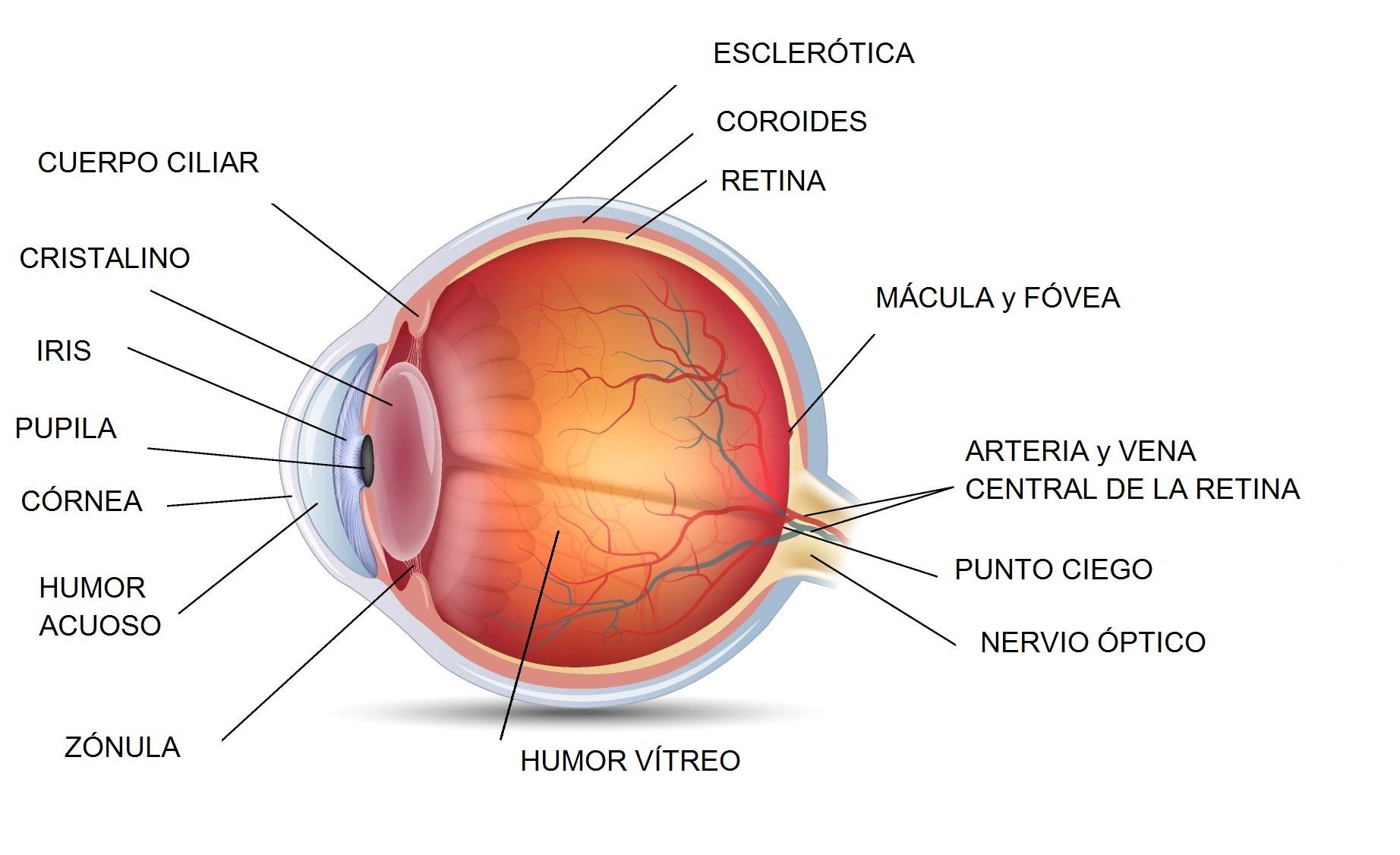 anatomia-ojo1