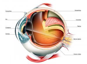 Detalle sobre la anatomía del ojo humano